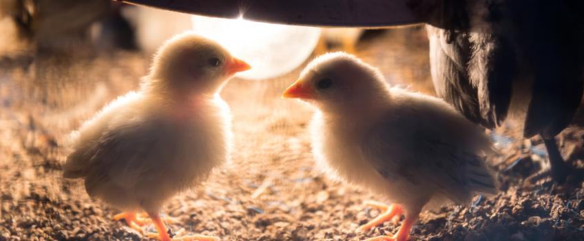 Chicks in an incubator