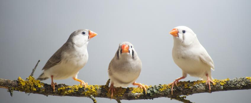 Three finches on a tree branch