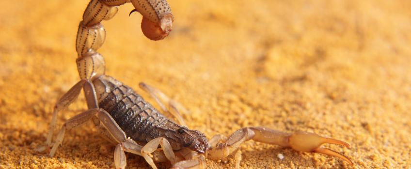 Scorpion with its tail poised to sting